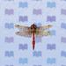 red-dragonfly.jpg