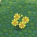 yellow cosmos