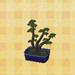mugho bonsai
