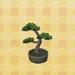 ponderosa bonsai